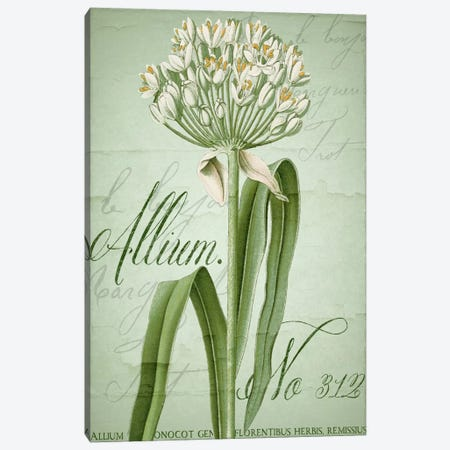 Allium I Canvas Print #CBY82} by Color Bakery Canvas Art Print