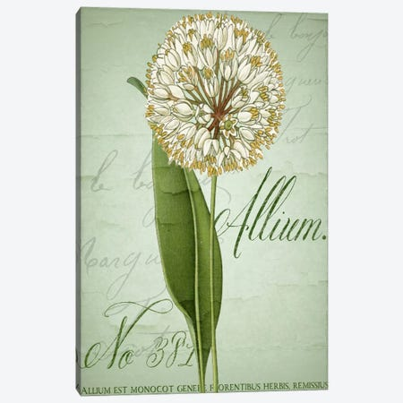 Allium II Canvas Print #CBY83} by Color Bakery Art Print