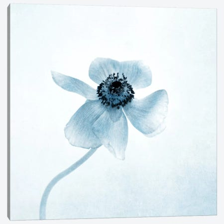 Anemone II Canvas Print #CDR104} by Claudia Drossert Art Print