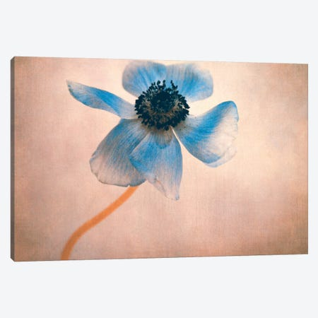 Anemone IIII Canvas Print #CDR106} by Claudia Drossert Canvas Print