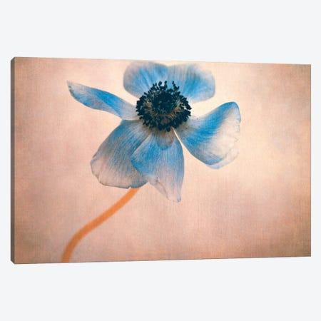 Anemone IIII Canvas Print #CDR106} by Claudia Drossert Canvas Print