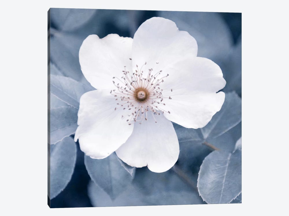 White Rose II by Claudia Drossert 1-piece Canvas Print