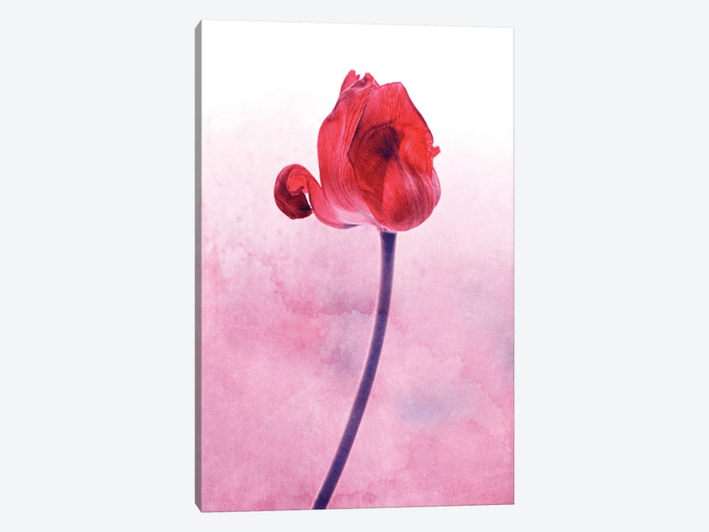 Red Tulip by Claudia Drossert 1-piece Canvas Artwork