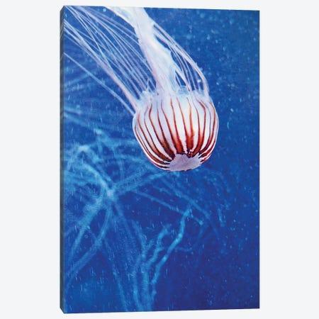 Jellyfish II Canvas Print #CDR168} by Claudia Drossert Canvas Artwork