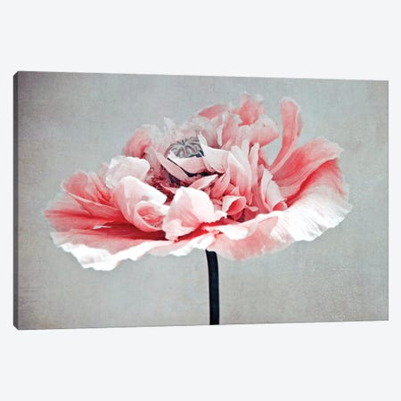 Coral Poppy Canvas Print #CDR169} by Claudia Drossert Canvas Art