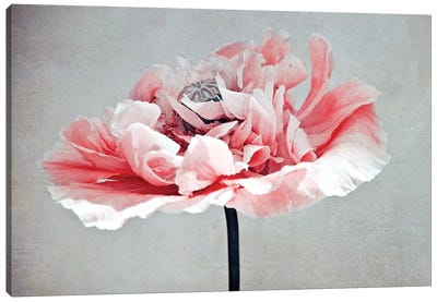Coral Poppy Canvas Art Print