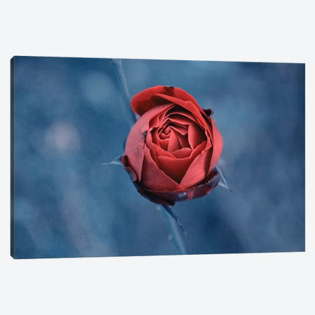 Red Rose Canvas Print #CDR173} by Claudia Drossert Canvas Art Print