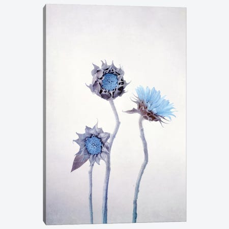 Sunflower Canvas Print #CDR177} by Claudia Drossert Canvas Art
