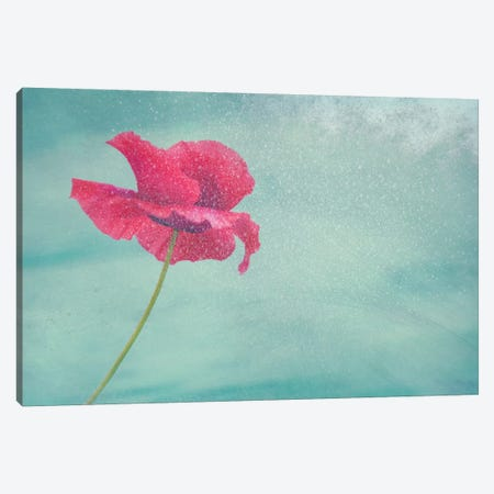 Mohn Blume II Canvas Print #CDR39} by Claudia Drossert Canvas Print