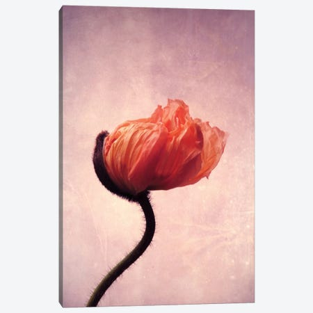 Mohn Flamme II Canvas Print #CDR40} by Claudia Drossert Canvas Artwork