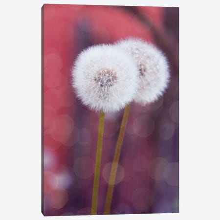 Puste Blume I Canvas Print #CDR58} by Claudia Drossert Canvas Art Print