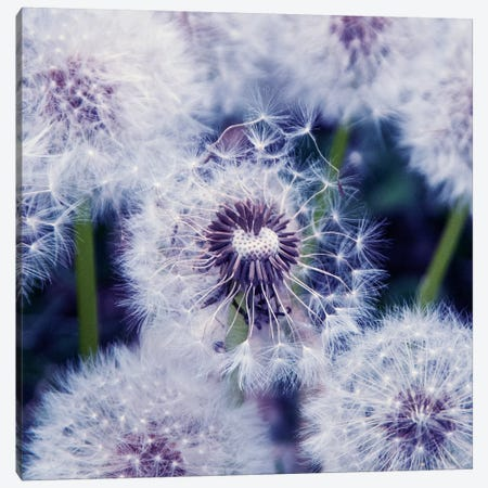 Puste Blumen Canvas Print #CDR59} by Claudia Drossert Art Print
