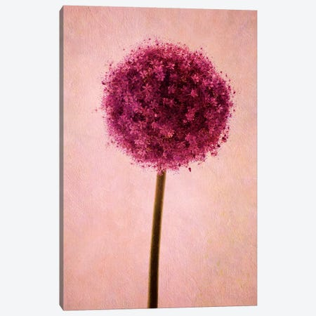Allium Canvas Print #CDR80} by Claudia Drossert Canvas Art