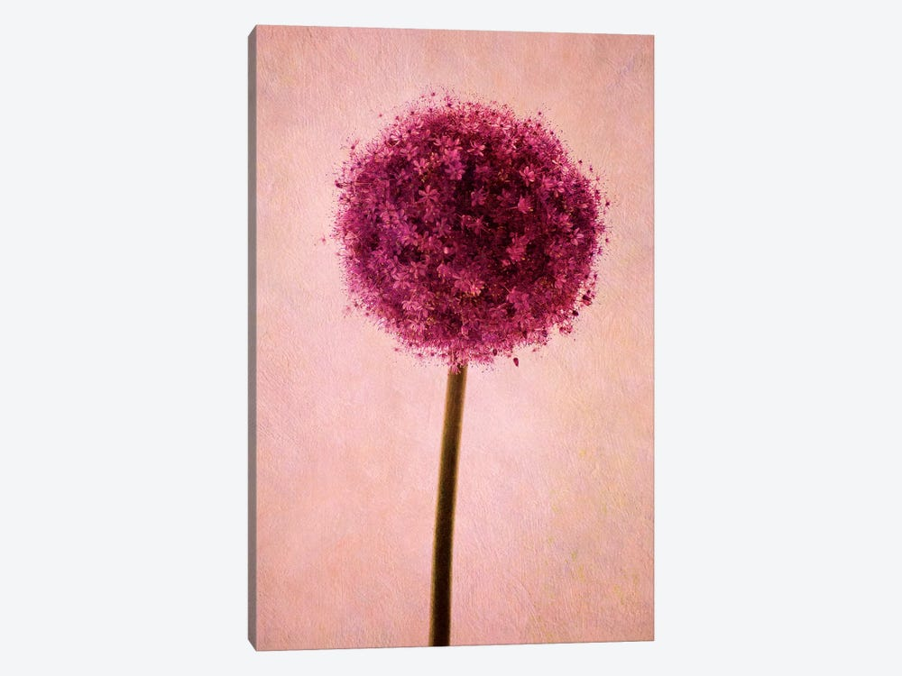 Allium by Claudia Drossert 1-piece Canvas Print