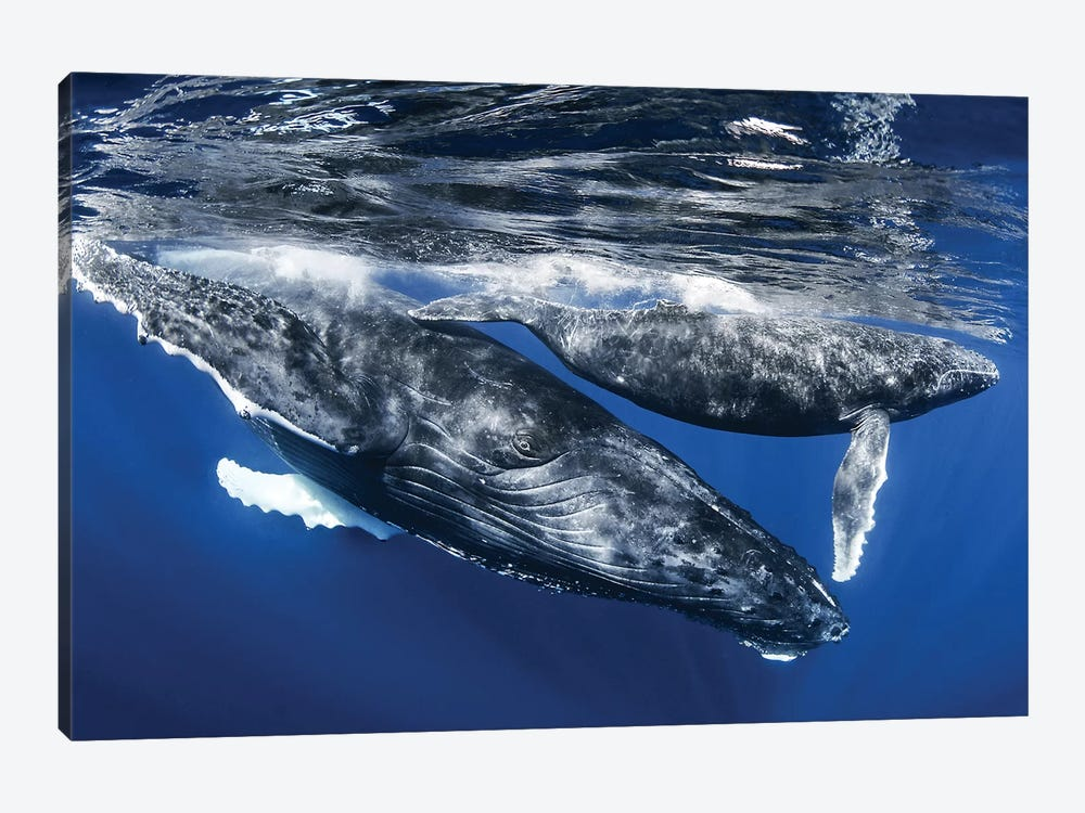 Humpback Whale And Calf, Reunion Island 1-piece Canvas Wall Art