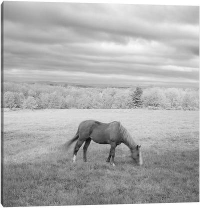 Lone Horse Canvas Art Print