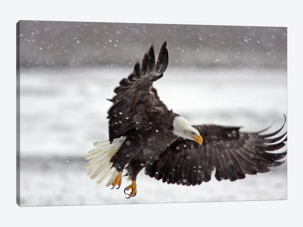 Bald Eagle Soaring In A Snow Storm, Alaska Chilkat Bald Eagle Preserve, Alaska, USA by Cathy & Gordon Illg 1-piece Canvas Art