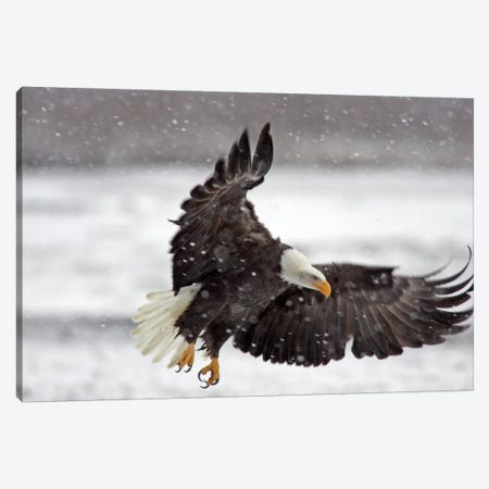 Bald Eagle Soaring In A Snow Storm, Alaska Chilkat Bald Eagle Preserve, Alaska, USA Canvas Print #CGI1} by Cathy & Gordon Illg Canvas Art Print