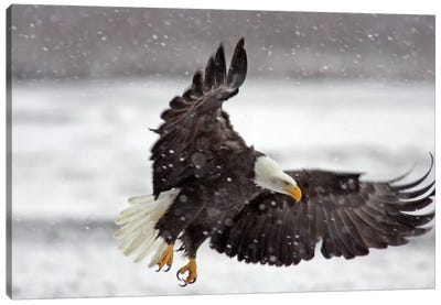 Bald Eagle Soaring In A Snow Storm, Alaska Chilkat Bald Eagle Preserve, Alaska, USA Canvas Art Print