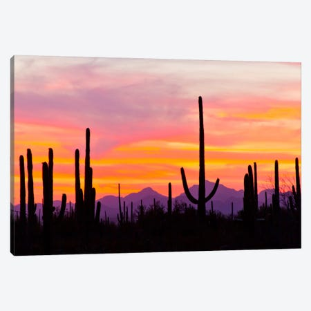Saguaro Cacti At Sunset I, Saguaro National Park, Sonoran Desert, Arizona, USA Canvas Print #CGI2} by Cathy & Gordon Illg Canvas Art Print