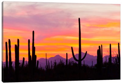 Saguaro Cacti At Sunset I, Saguaro National Park, Sonoran Desert, Arizona, USA Canvas Art Print