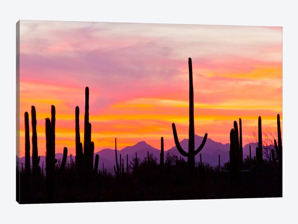 Saguaro Cacti At Sunset I, Saguaro National Park, Sonoran Desert, Arizona, USA by Cathy & Gordon Illg 1-piece Canvas Art Print