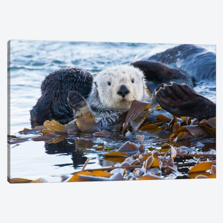 Kelp-Covered Sea Otter, San Luis Obispo County, California, USA Canvas Print #CGI3} by Cathy & Gordon Illg Canvas Art Print