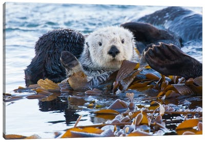 Kelp-Covered Sea Otter, San Luis Obispo County, California, USA Canvas Art Print
