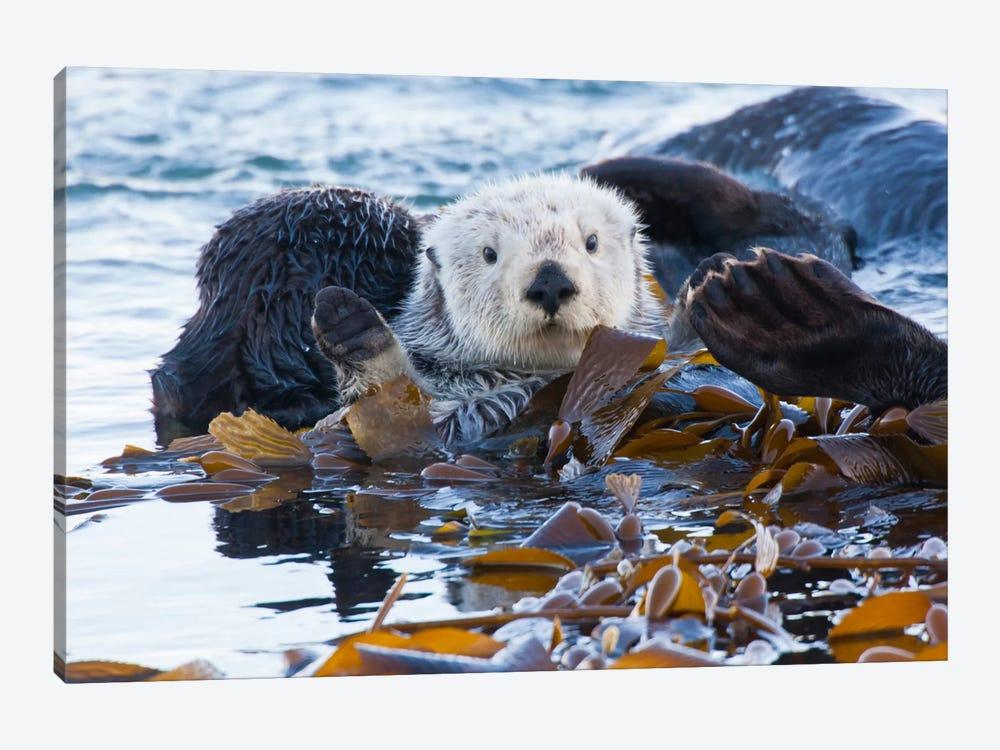 Kelp-Covered Sea Otter, San Luis Obispo County, California, USA by Cathy & Gordon Illg 1-piece Canvas Wall Art