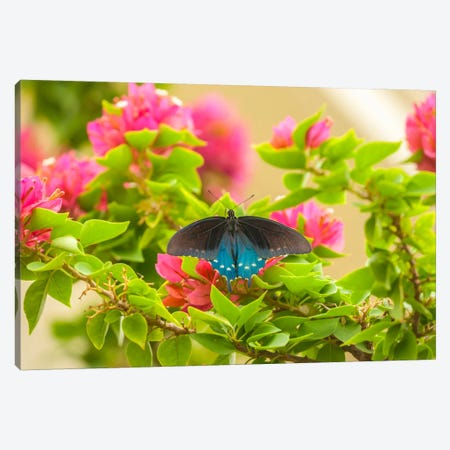 Open-Winged Pipevine Swallowtail, Hidalgo County, Texas, USA Canvas Print #CGI4} by Cathy & Gordon Illg Canvas Art