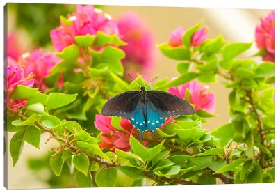 Open-Winged Pipevine Swallowtail, Hidalgo County, Texas, USA Canvas Art Print