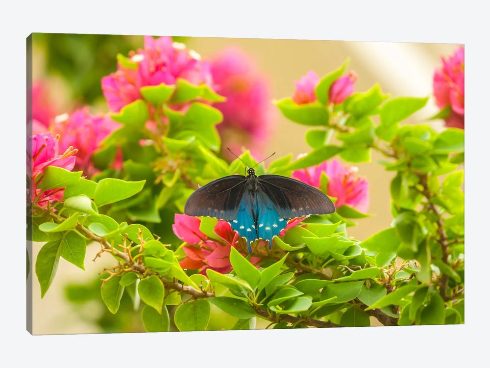 Open-Winged Pipevine Swallowtail, Hidalgo County, Texas, USA by Cathy & Gordon Illg 1-piece Art Print