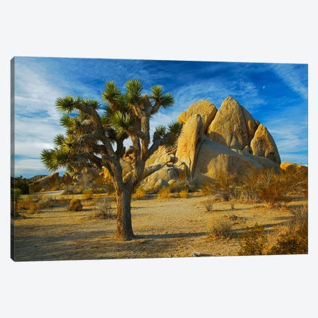 Joshua Tree & Inselberg, Joshua Tree National Park, California, USA Canvas Print #CGU1} by Charles Gurche Canvas Art