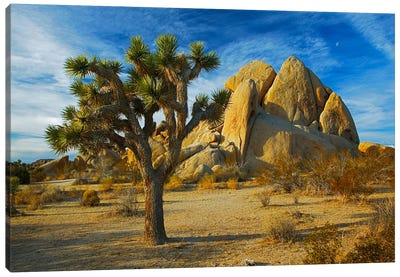 Joshua Tree & Inselberg, Joshua Tree National Park, California, USA Canvas Art Print