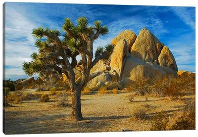 Joshua Tree & Inselberg, Joshua Tree National Park, California, USA Canvas Art Print