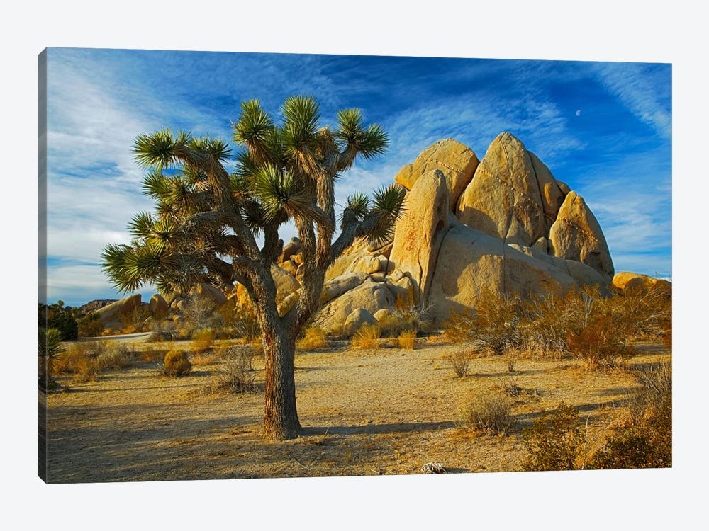 Joshua Tree & Inselberg, Joshua Tree National Park, California, USA by Charles Gurche 1-piece Canvas Artwork