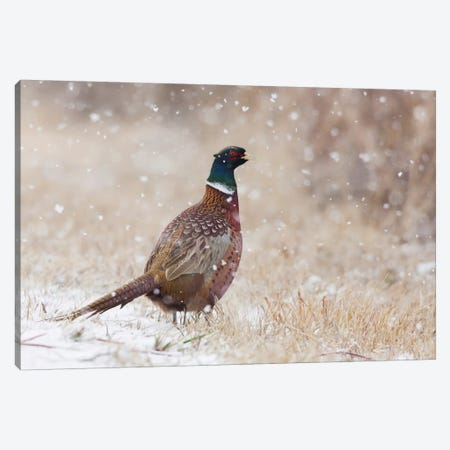 Ring-necked pheasant, Autumn snowflakes Canvas Print #CHE109} by Ken Archer Canvas Print