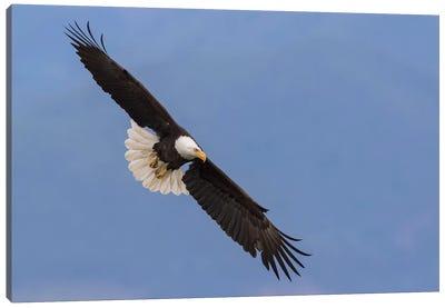 Bald Eagle flying V Canvas Art Print