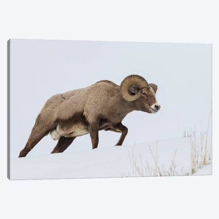 Rocky Mountain bighorn sheep ram 3-Piece Canvas #CHE110} by Ken Archer Canvas Art