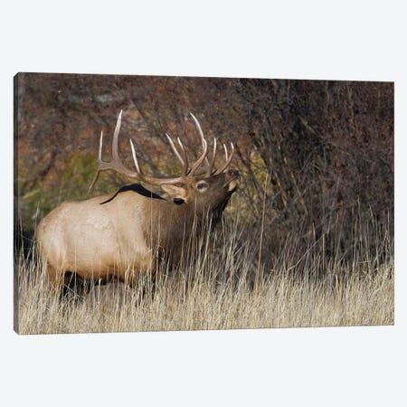 Rocky Mountain bull elk Canvas Print #CHE111} by Ken Archer Canvas Artwork