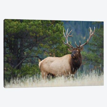 Rocky Mountain bull elk Canvas Print #CHE112} by Ken Archer Canvas Art