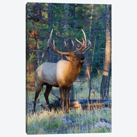 Rocky Mountain bull elk bugling Canvas Print #CHE114} by Ken Archer Art Print