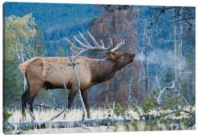 Rocky Mountain bull elk morning bugle Canvas Art Print