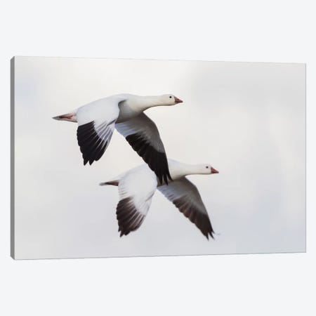 Ross's geese Canvas Print #CHE119} by Ken Archer Canvas Artwork