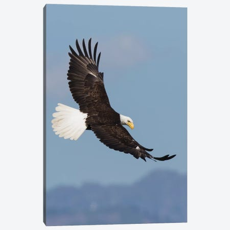Bald Eagles flying Canvas Print #CHE11} by Ken Archer Canvas Art