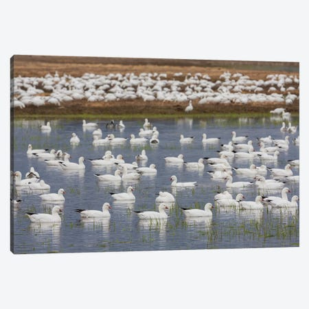 Ross's geese, migration stop Canvas Print #CHE120} by Ken Archer Art Print