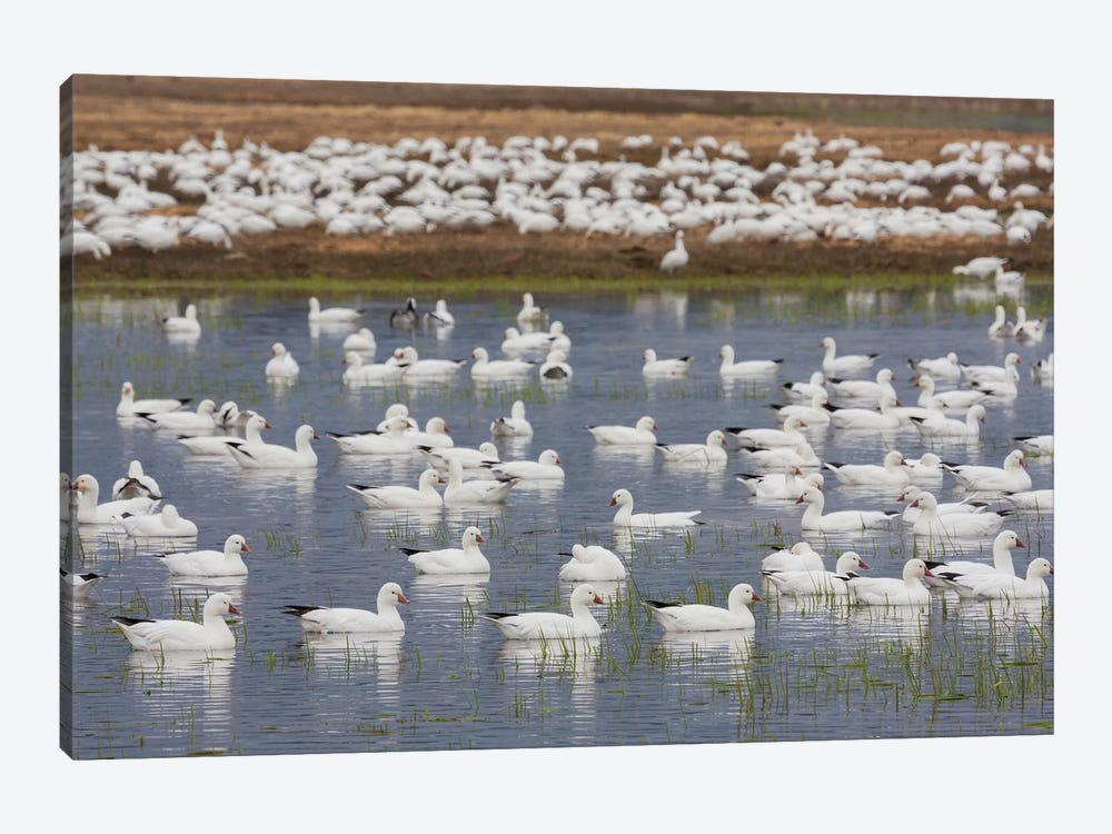 Ross's geese, migration stop by Ken Archer 1-piece Canvas Wall Art
