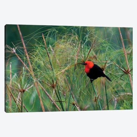 Scarlet-headed blackbird Canvas Print #CHE125} by Ken Archer Canvas Art