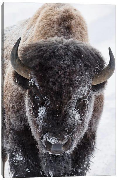 USA, Yellowstone, bison. Canvas Art Print