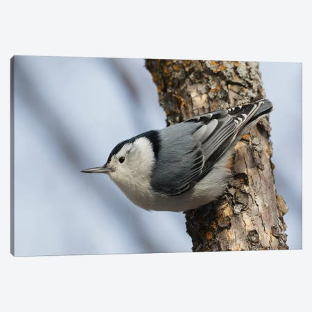 White-breasted Nuthatch surviving Winter Canvas Print #CHE141} by Ken Archer Art Print